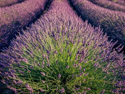 Lavandel in de Provence Frankrijk | © Anne van Houwelingen | FotoTours.nl