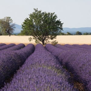 Lavendel op de vlakte van Valensole in de Provence, Frankrijk