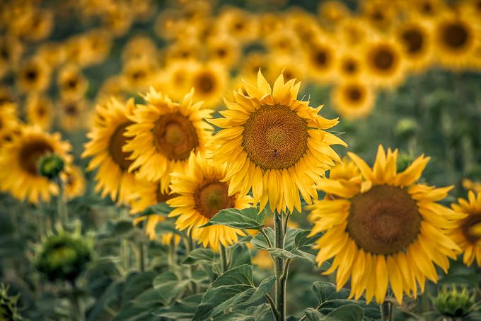 Zonnebloemen in de Provence, Frankrijk | © Anne van Houwelingen | FotoTours.nl