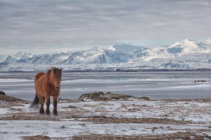 IJsland Winter - IJslandse paarden | copyright Anne van Houwelingen | FotoTours.nl