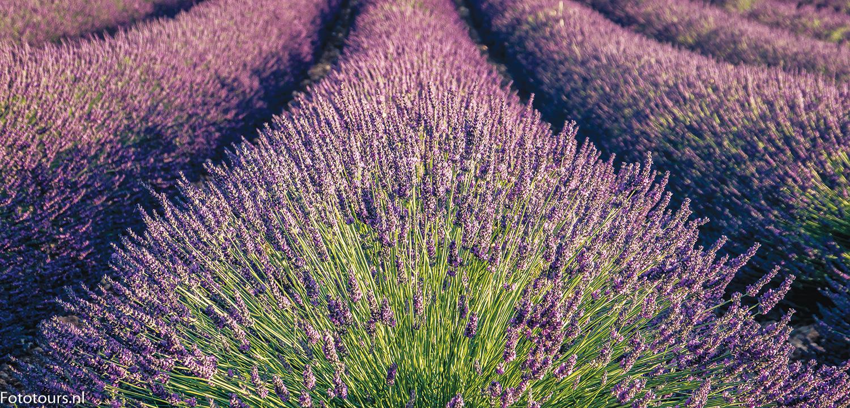 Foto van lavendel in de Provence, copyright Anne van Houwelingen